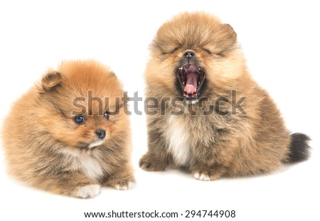 Red puppy Pomeranian