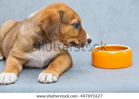 Red puppy with a bowl on a gray background