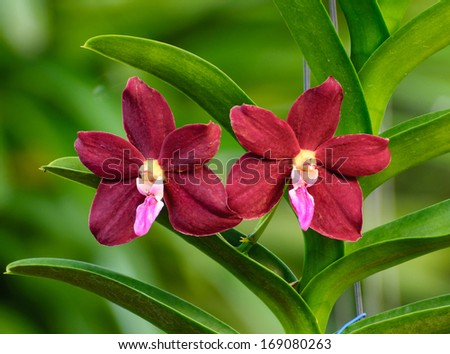 Red-Purple Orchid flower - Vanda on green background