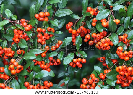 red pyracantha berries with green wet leaves in selective focus