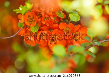 red quince flower - stock photo