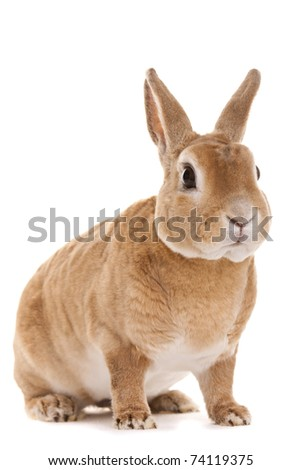 Red Rabbit - stock photo