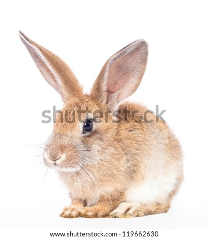 Red rabbit ( bunny )  isolated on a white background - stock photo
