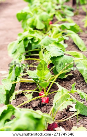 Red radishes growing in the garden. Shallow focus. - stock photo