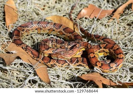 Red rat snake ((Pantherophis guttatus guttatus) - stock photo
