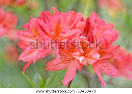 Red rhododendron blossom, shallow dof, focus on front blossom - stock photo