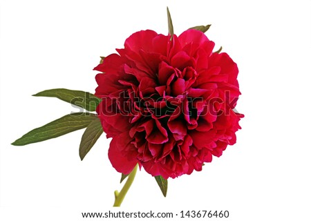 Red Rhododendron (Isolated) - stock photo