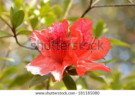 Red Rhododendron (Rhododendron simsii Planch) in Northern of Thailand. - stock photo