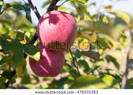 Red ripe apple on the tree in sunlight