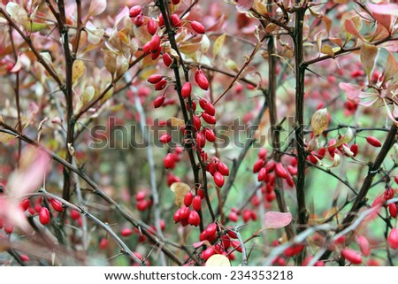 Red ripe berries of barberry on the branches in the autumn - stock photo