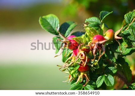 red ripe berries wild rose hips on a branch closeup - stock photo