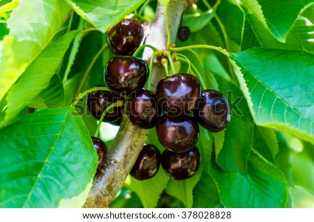 Red ripe cherries on a tree branch against lush foliage on the background. Selective focus - stock photo