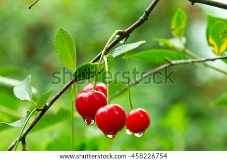 Red ripe cherry with rain droplets hanging on a tree