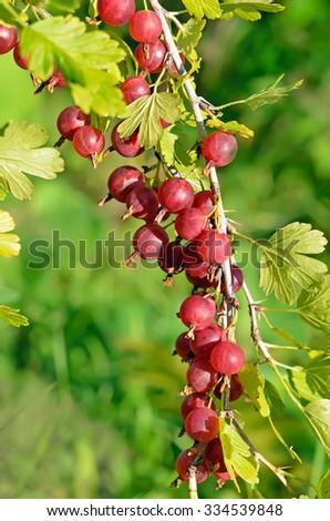 Red ripe gooseberries on branch in garden - stock photo