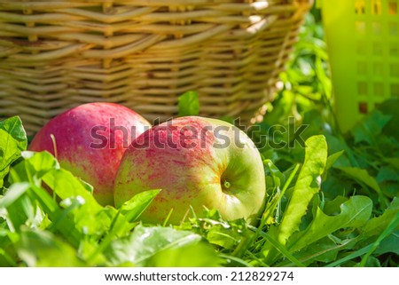 red ripe juicy apples lie on a green grass - stock photo