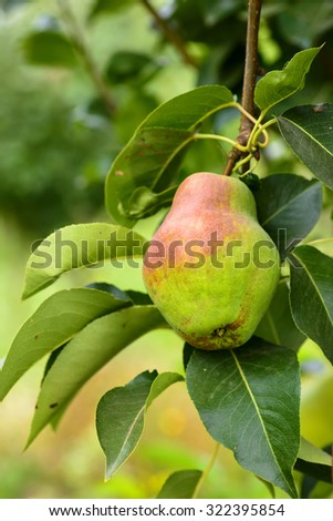 Red ripe pear on the background of green foliage. Pear tree. - stock photo