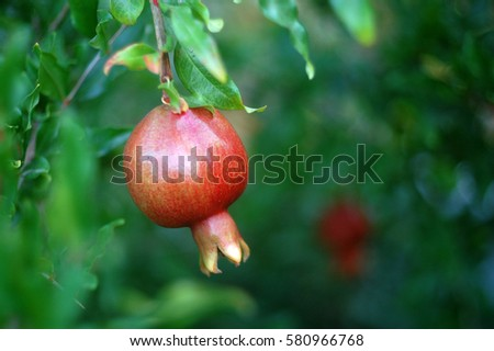 Red ripe pomegranate on the tree. Bright fruit background