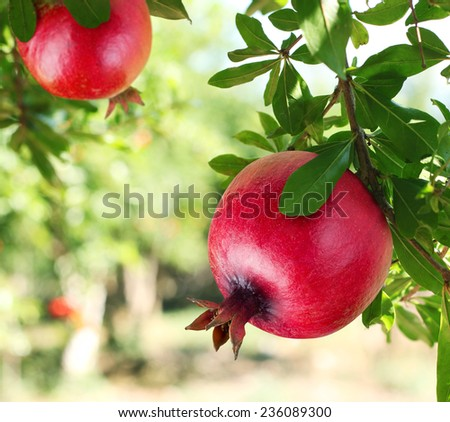 Red ripe pomegranates on the tree. Blurred garden at the background.
