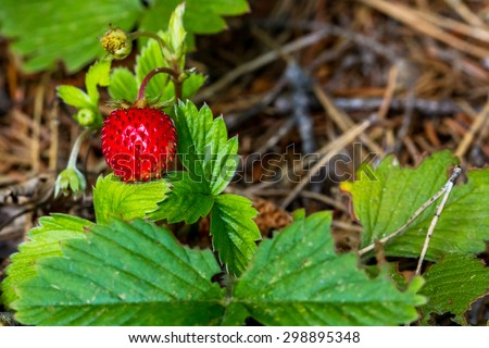 Red ripe wild strawberry on bush in the forest - stock photo