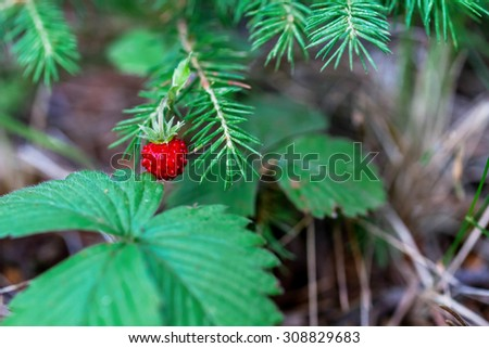 Red ripe wild strawberry on bush in the forest