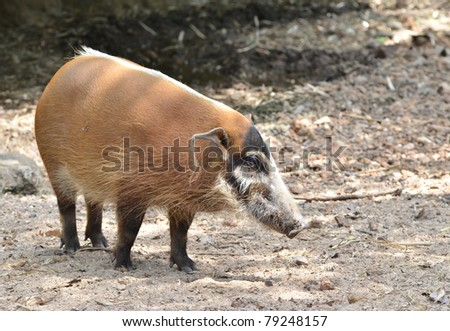 red river hog, african wild life - stock photo