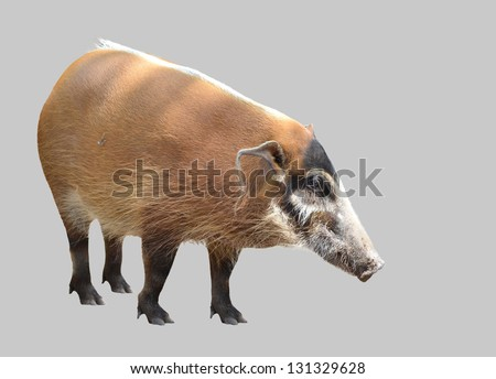 red river hog, african wild life isolated on white background - stock photo