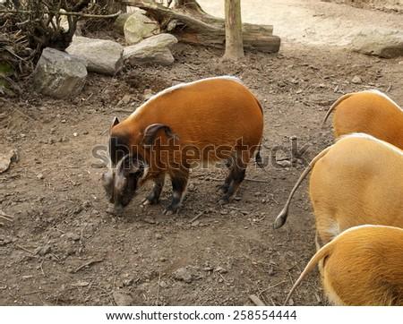 Red river hog (Potamochoerus porcus) - stock photo