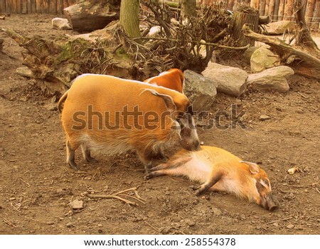 Red river hog (Potamochoerus porcus) - classic effect - stock photo
