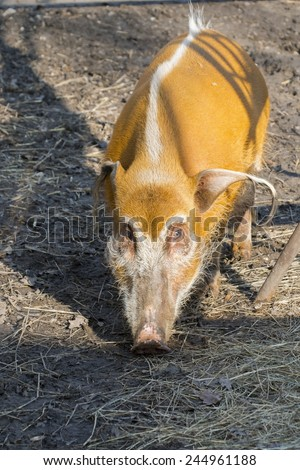 Red river hog (Potamochoerus porcus) in the forest - stock photo
