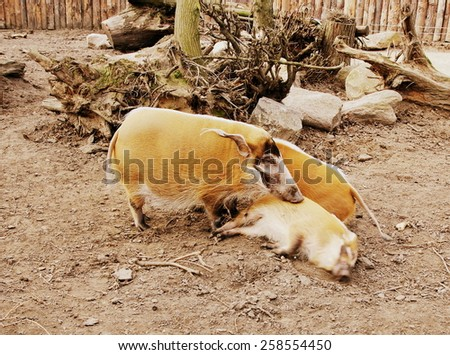 Red river hog (Potamochoerus porcus) - movie effect - stock photo