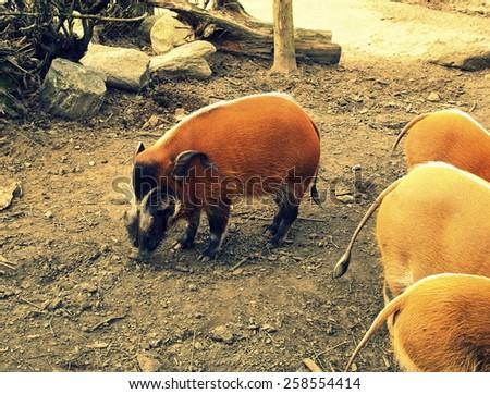 Red river hog (Potamochoerus porcus) - vintage effect - stock photo