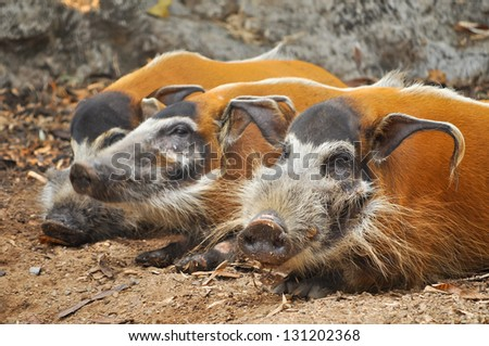 Red river hogs are omnivores and in the wild, eat a variety of foods including grass, berries, insects and carrion. - stock photo