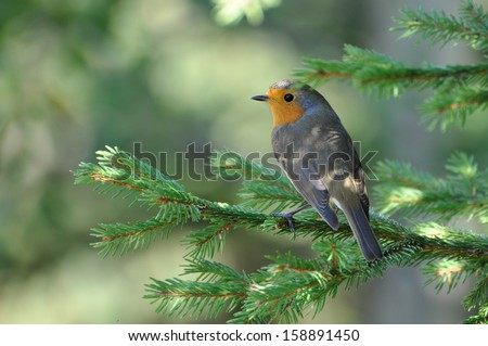 Red robin on a branch, Erithacus rubecula