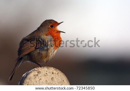 red robin sing - stock photo