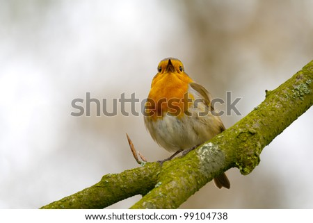 Red Robin singing a song on a branch. - stock photo