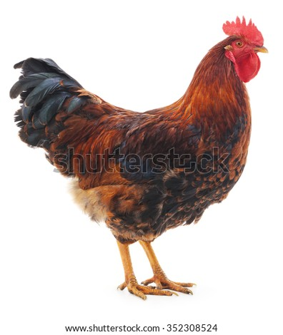 Red rooster isolated on a white background.