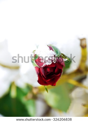 red rose and frozen leafs in cold winter tones - stock photo