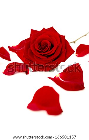 Red rose and petals isolated on a white background