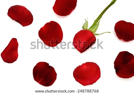 Red rose and petals of rose. for valentine's gift