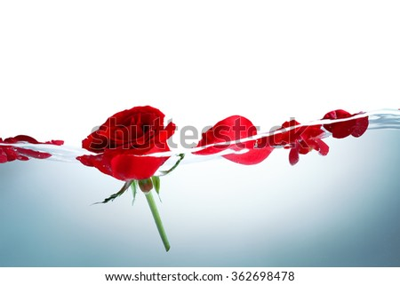 Red rose and rose petals in water - stock photo
