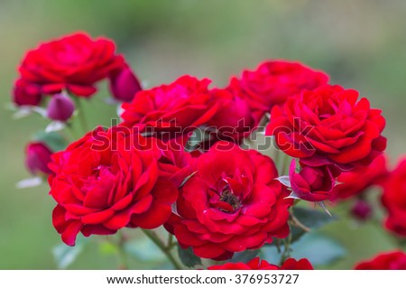 Red rose as a natural and holidays background