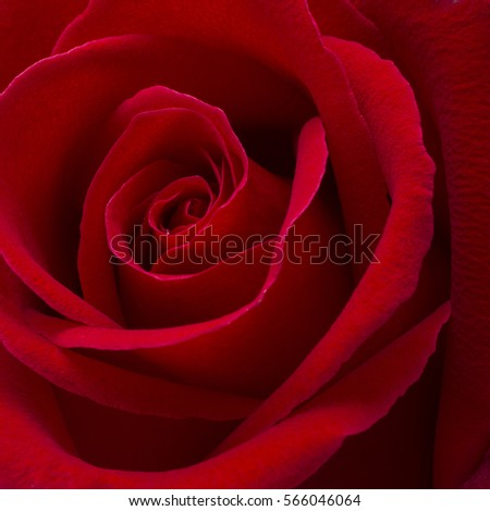 red rose background,close up shot,valentine day concept.