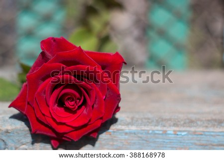 Red rose background. Red rose as a natural and holidays background.  - stock photo