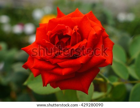 red rose bloom - stock photo