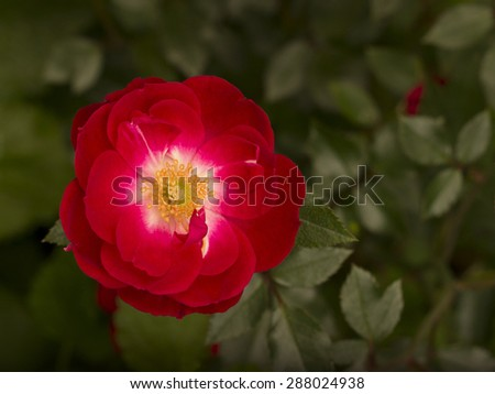 Red rose blooming in the garden - stock photo