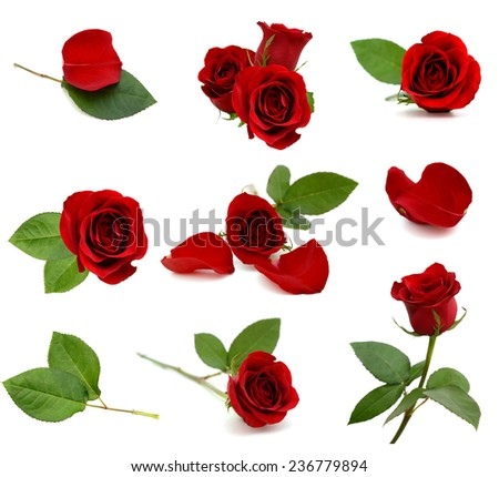 Red rose blooms  - stock photo