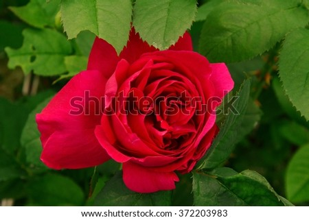 Red rose blossom