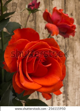 Red rose bouquet closeup against wooden wall - stock photo