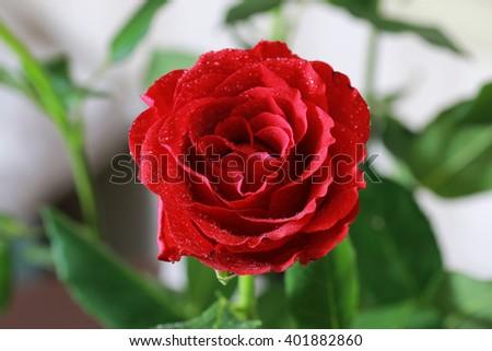 red rose bud closeup - stock photo
