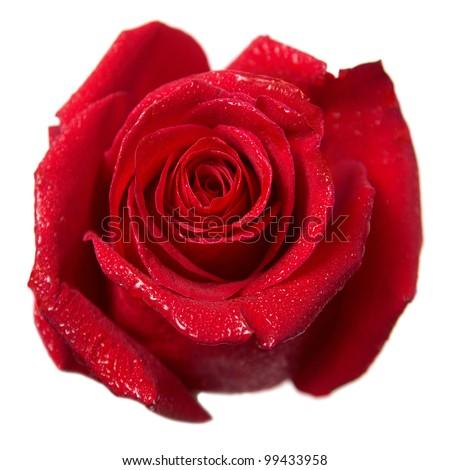 Red rose bud macro isolated on white background - stock photo